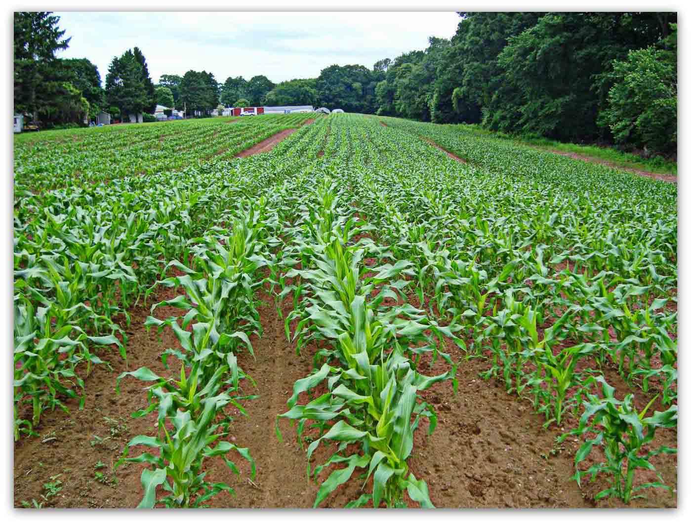 Бізнес ідея: вирощування кукурузи
