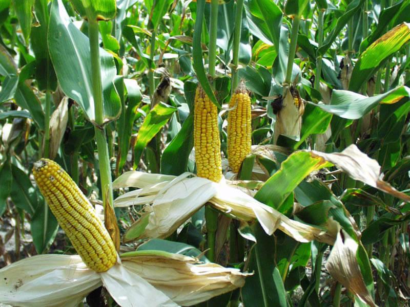 Бізнес на кукурузі