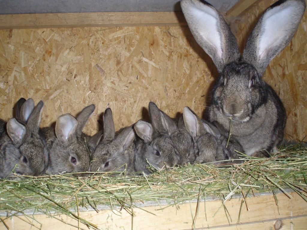 Бізнес ідея: Розведення кроликів