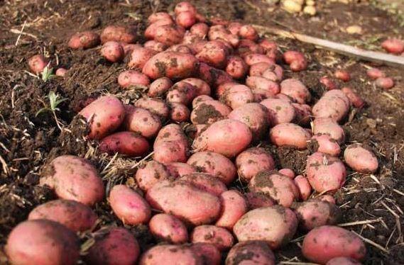 Бізнес ідея: Вирощування картоплі