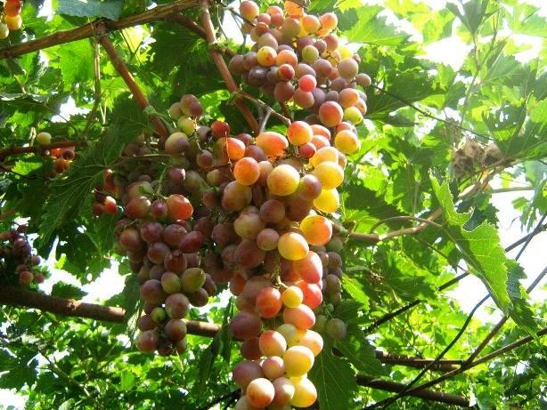 Бізнес ідея: Виноградарство