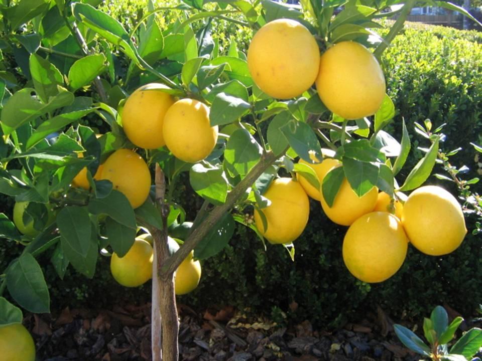 Бізнес ідея: Вирощування лимонів