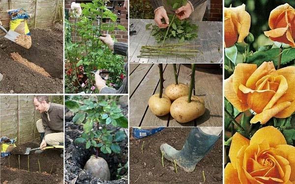 Вирощування троянд з живців в домашніх умовах