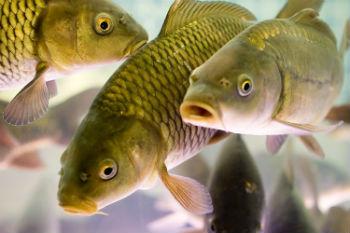 Бізнес ідея: Розведення риби