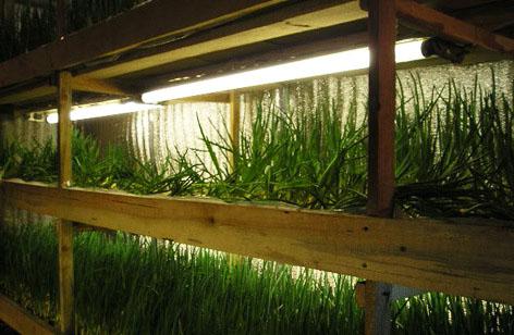 Бізнес ідея: Вирощування зелені