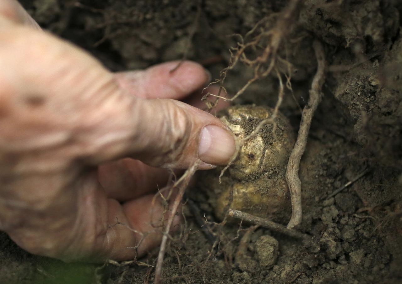 Вирощування трюфелів як бізнес