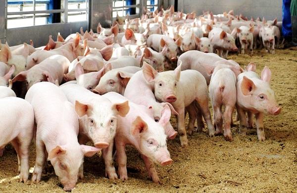 Молодняк свиней для розведення