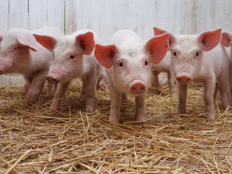 Поради з вирощування свиней в якості бізнесу