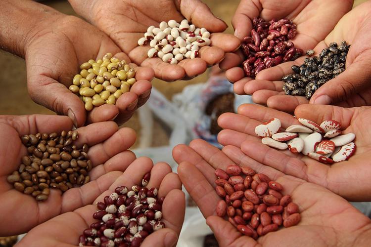 Як відкрити бізнес на вирощуванні квасолі