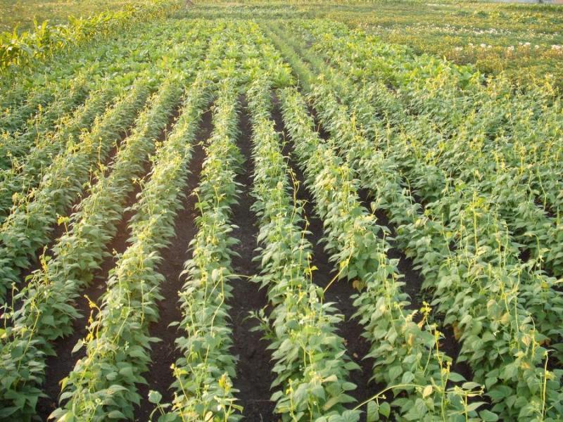 Бізнес на вирощуванні квасолі: суть ідеї