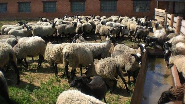 Бізнес план по вирощуванню баранів