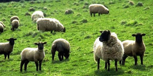 Розведення баранів на м'ясо як прибутковий бізнес