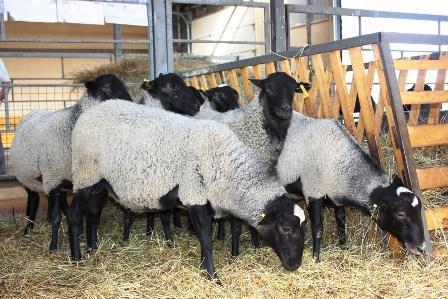 Вирощування баранів як бізнес