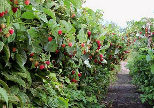 Вирощування малини як бізнес