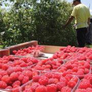 Вирощування малини як вигідний власний бізнес