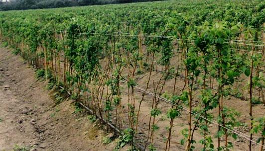 Бізнес на вирощуванні малини