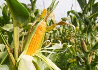 Вирощування кукурудзи як бізнес