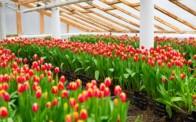 Бізнес вирощування тюльпанів