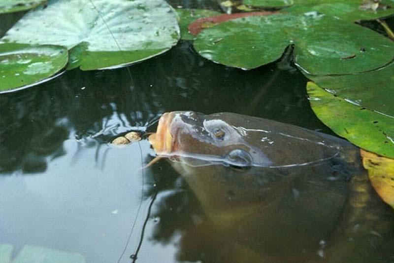 Як побудувати ставок на дачі для розведення риби?