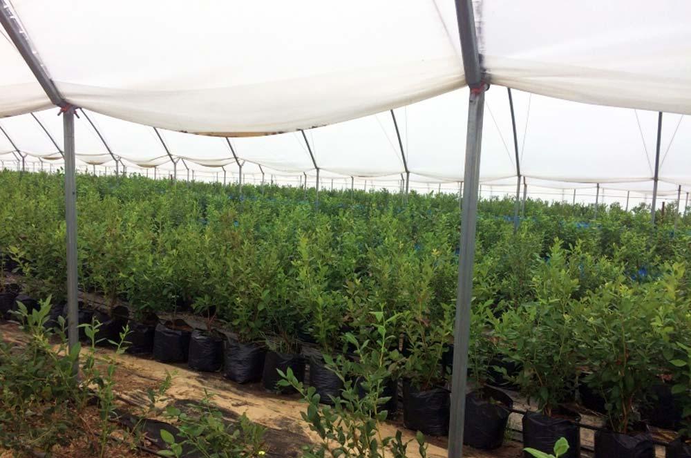 Бізнес на вирощуванні лохини
