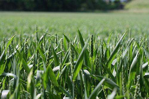Бізнес на вирощуванні та продажу пшениці