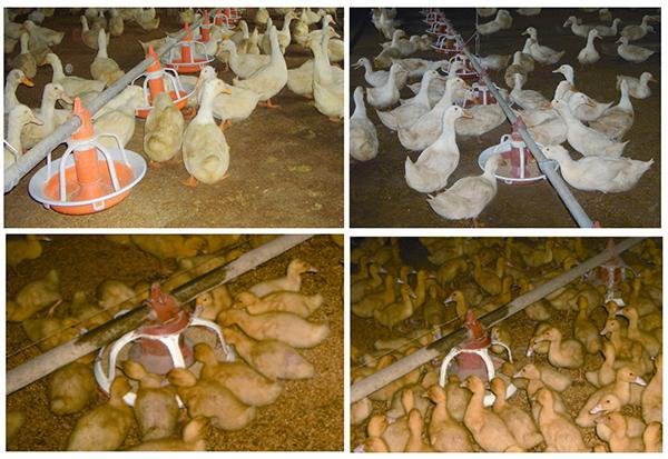 Бізнес план розведення гусей на дому